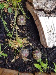 Griechische Landschildkröten Schildkröten THB 2016