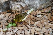 Verschenke vier Kanarienvögel gegen kleine