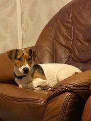 Kein Verkauf Jack Russel Terrier