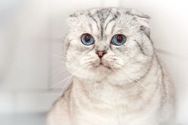 Deckkater EUROPA CHAMPION Scottish Fold