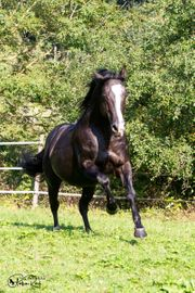 Deckanzeige Black Quarter Horse Stallion