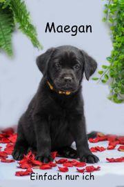 Labrador Welpe noch eine Hündin
