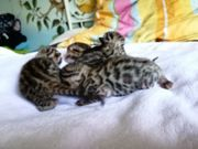 Wohnzimmerleoparden suchen liebevolle Dosenöffner Bengalkitte