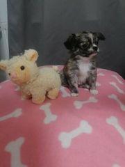 Mini chihuahua junge