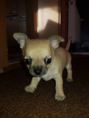 Haben unsere kleinen Chihuahua abzugeben