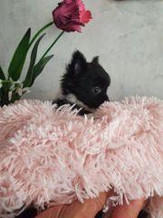 mini Chihuahuawelpen Lh und Kh