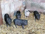 3 Mini Schwein Ferkel suchen
