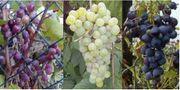 Biete 3 Järige Trauben-Stöcke Jungpflanzen