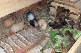 Meerschweinchen Frühkastrate aus Vereinszucht: Kleinanzeigen aus Bechtheim - Rubrik Kleintiere