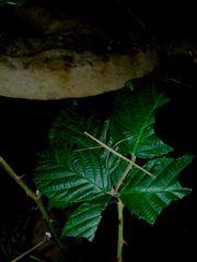 Annam - Stabschrecken Medauroidea extradentata