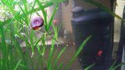 Posthornschnecken für Aquarium Kalt- und