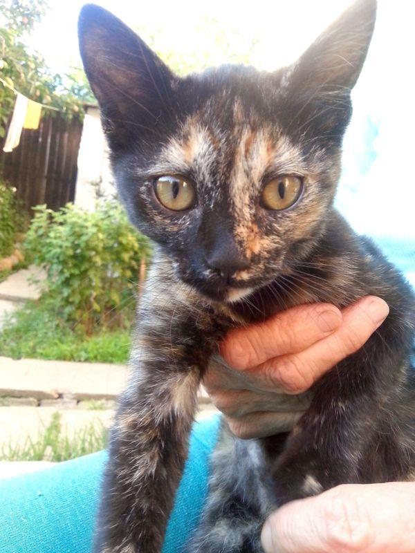 Schildpatt Kitten Opal und Tiger