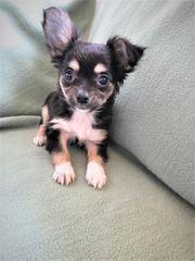 Niedliche Chihuahua-Jack Russel Mix Welpen