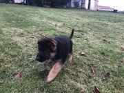 Deutschen Schäferhund