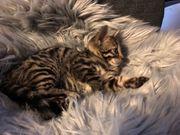 Junge Bengal Katze