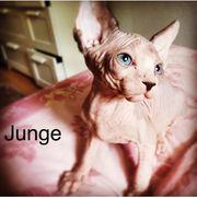 Sphinx- Nacktkatzen suchen ein liebevolles