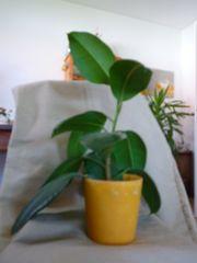 Gummibaum mit gelben Topf Zimmerpflanze