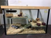 Lemminge Steppenlemminge Nagetiere Lagurus lagurus