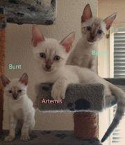Snow-Bengal-Kitten suchen ein neues Zuhause