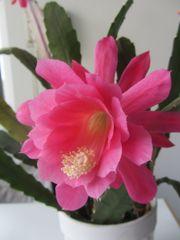 Kaktus Sukkulente Steingewächs Dreikantkaktus Madagarskakaktus