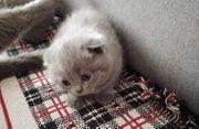 Kleine flauschige verspielte britische Kätzchen