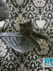 BKH Katze Mia