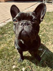 Wurfankündigung Französische Bulldogge Welpen