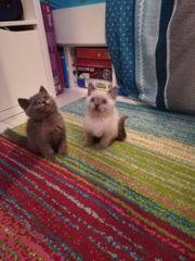 bkh Katzen kitten Babys