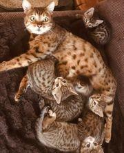 Bengalmix-Kitten
