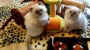 Ragdoll Mix BKH Kitten Männchen