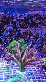Meerwasser Korallen Korallenableger SPS