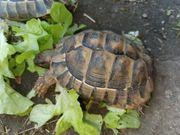 griechische landschildkröten weibchen