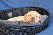 Labrador Welpen suchen IHR Personal