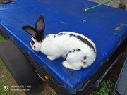 Kaninchen Riesenschecke Bock aus 2019