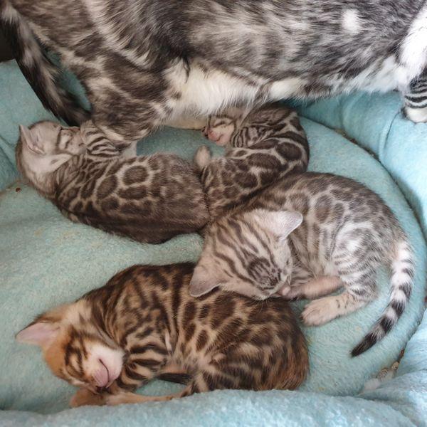 Bildhübsche bengal Kitten silber und