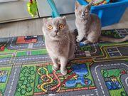 Scottish fold Katzen Mutter und