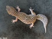 adult zuchtreif Leopardgecko 2020 Männchen