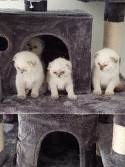 shottish fold kitten