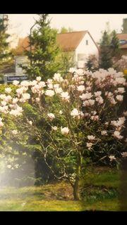 Magnolienbäume zu verschenken