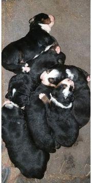 Appenzeller Berner Sennenhund Mix Welpen