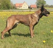 Belgischer Schäferhund 3 Jahre mit
