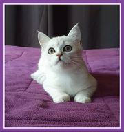 BKH Kitten Katzenbaby Katerchen