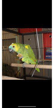 Amazonen papagei