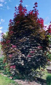 Baum Ahorn Roter Fächerahorn Silberahorn
