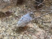 zwergwachteln Hähne Hennen