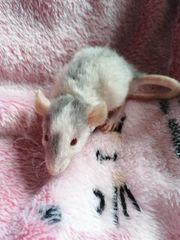 ich verkaufe junge Rattenmännchen