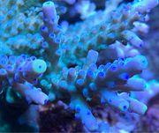 1Ableger von Acropora Austera Korallen