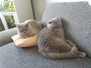 Katzenpaar zu verkaufen
