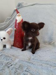 Reinrassige Schoko Chihuahua