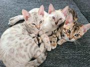 Ab SOFORT Snow Bengal Kitten